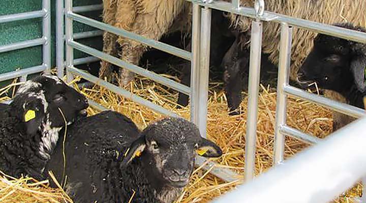 Steckfix-Horden für Schafe
